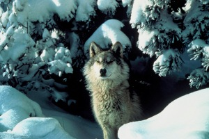 Post-Election Butch Otter to Reconsider Wolves?