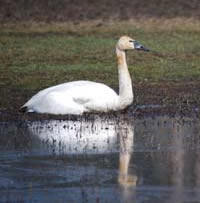 Another Flood Season, Another Tough Season for Swans in the Coeur d'Alene Basin