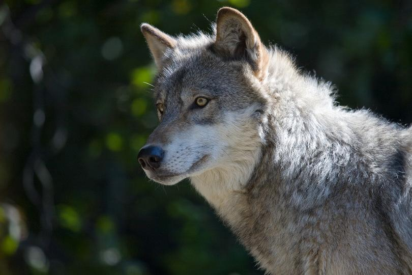 Idaho Fish and Game Proposes Unsupportable Hunting and Trapping Seasons for Wolves